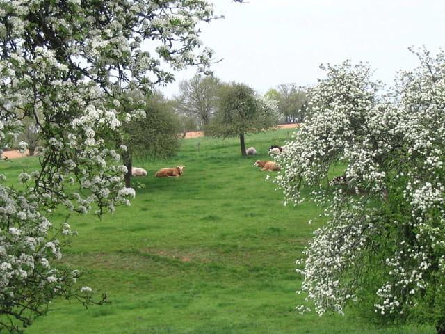Les vaches aux repos