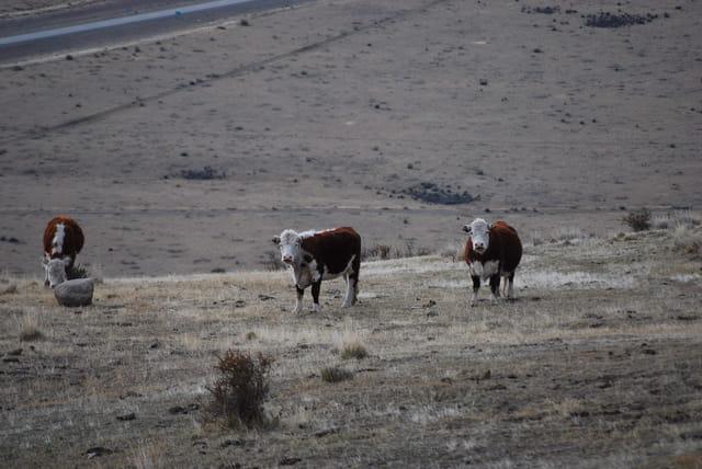 Les vaches de Patagonie