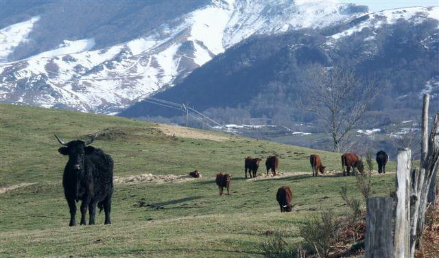 Les vaches du Cantal