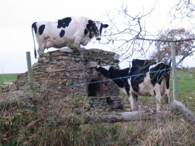 Les vaches et le four à pains.