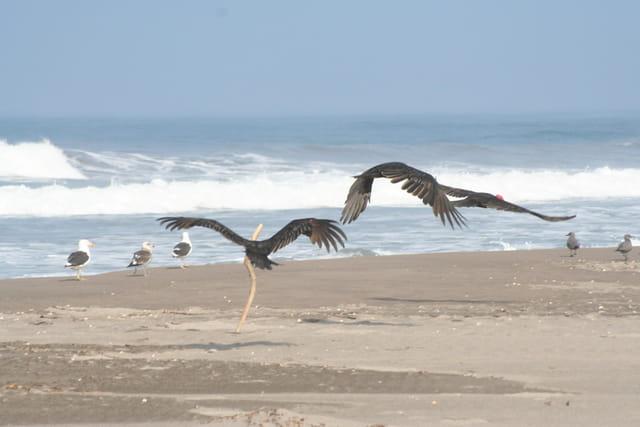Les vautours à tête rouge
