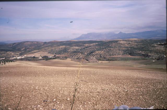 Les vergers d'oliviers