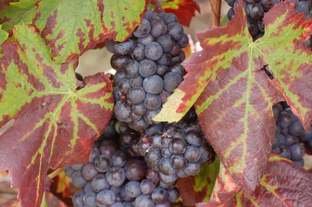 Les vignes avant vendanges