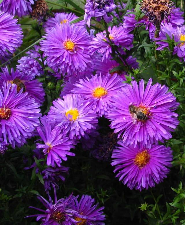 Les violettes et la guêpe