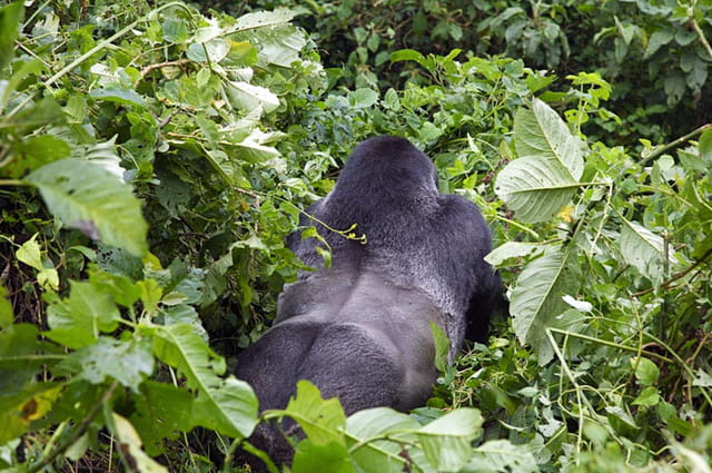 Les Virunga