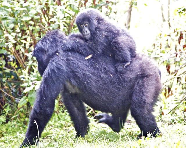 Les Virungas