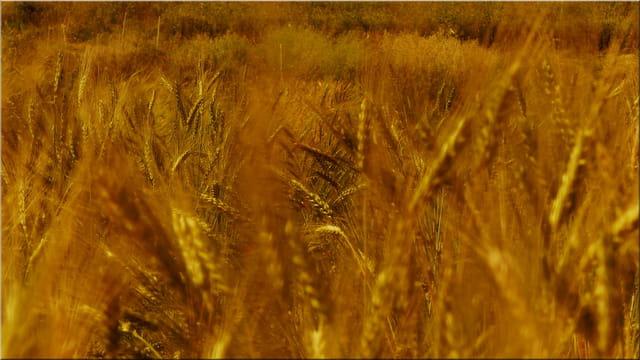 Les vrais blés....!
