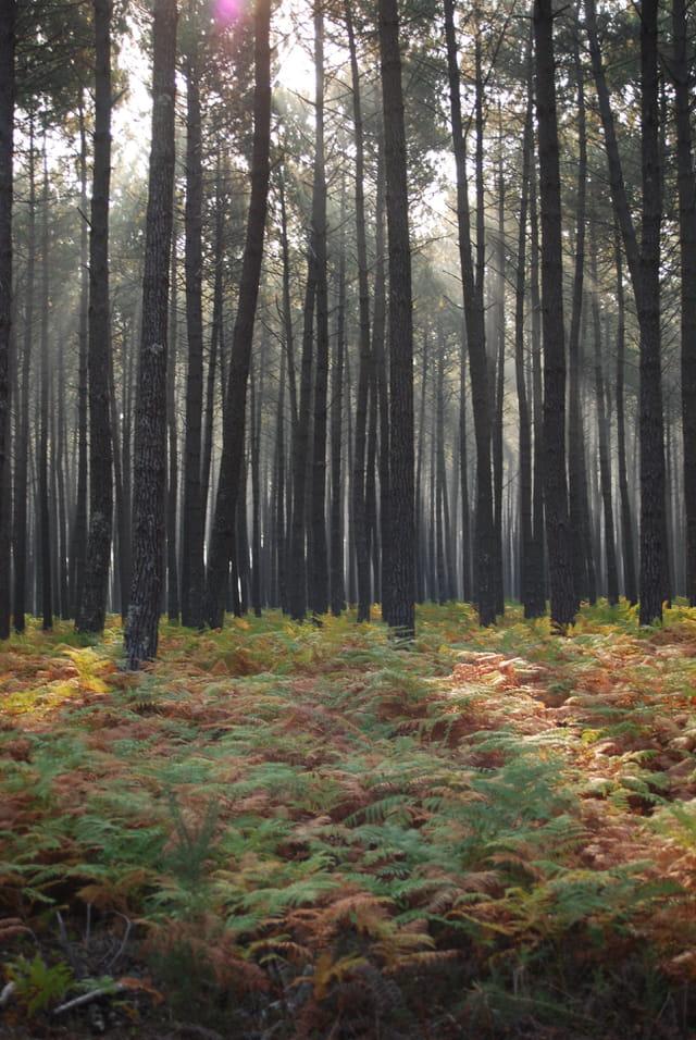lever de soleil dans la forêt Landaise