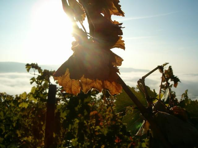 Lever de soleil sur la vigne