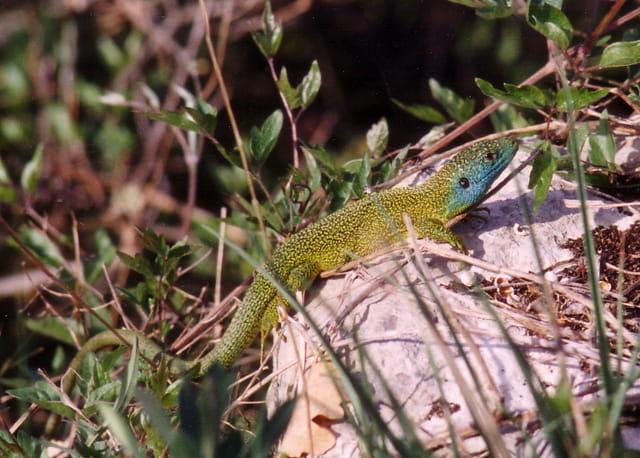 Lézard vert (mâle)