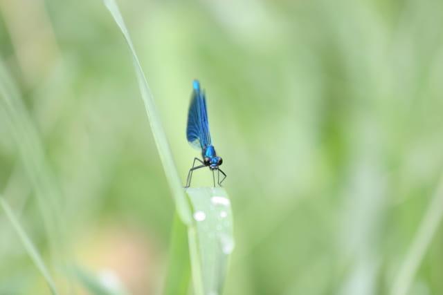 Libellule bleu nuit
