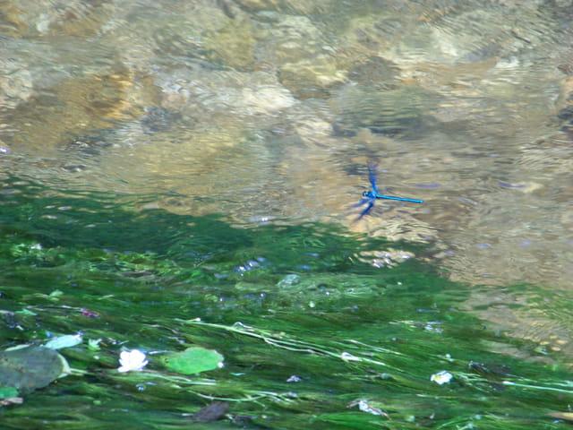 Libellule voletant au dessus de l'eau