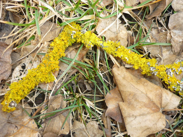 Lichen  jaune