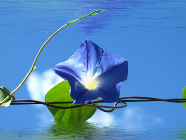 Lierre bleu