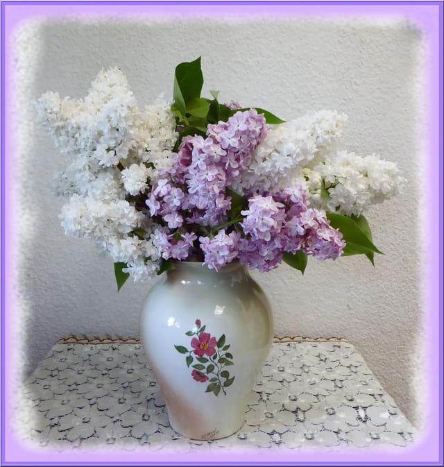 Lilas blanc et mauve du jardin