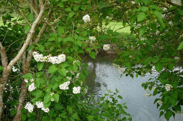 Lilas blanc sur les berges de l'Iton