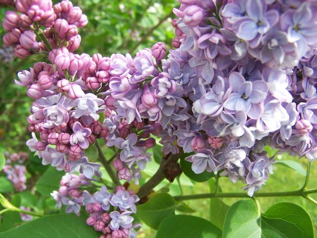 Lilas lilas