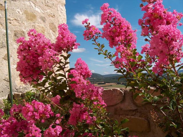 Lilas rose