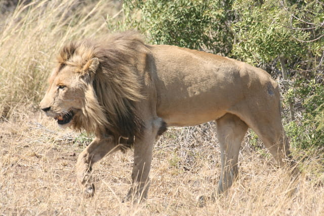 Lion fatigué