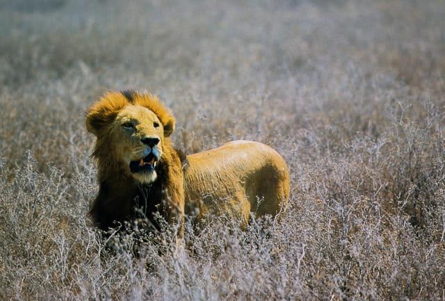 Lion guettant le retour de la lionne partie chasser