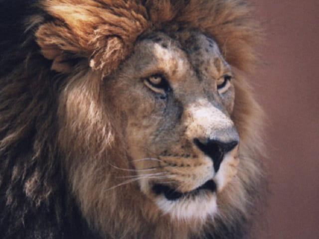 Lion paisible