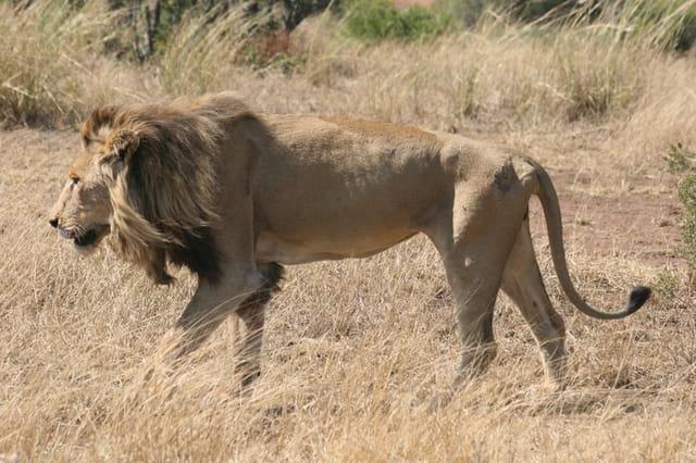 Lion qui a besoin de grossir