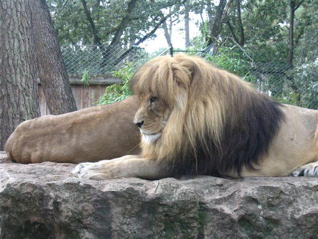 Lion sphynx