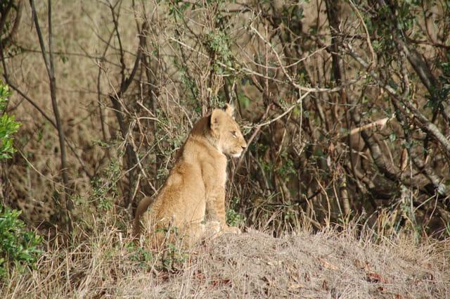 Lionceau songeur dans la savane