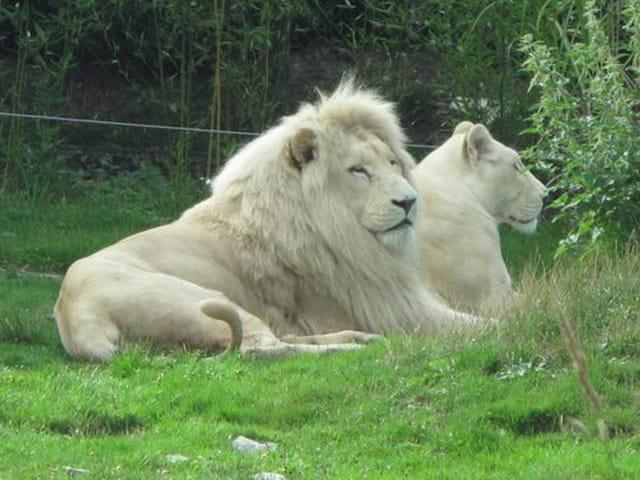 Lions blanc