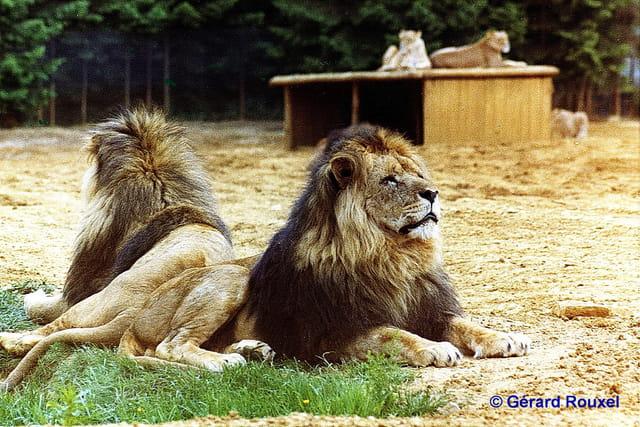 Lions Zoo de Thoiry juin 1972