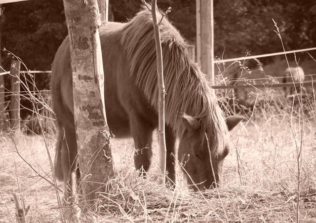 Little poney
