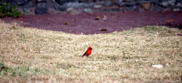 lle cardinal, oiseau rouge de La Réunion