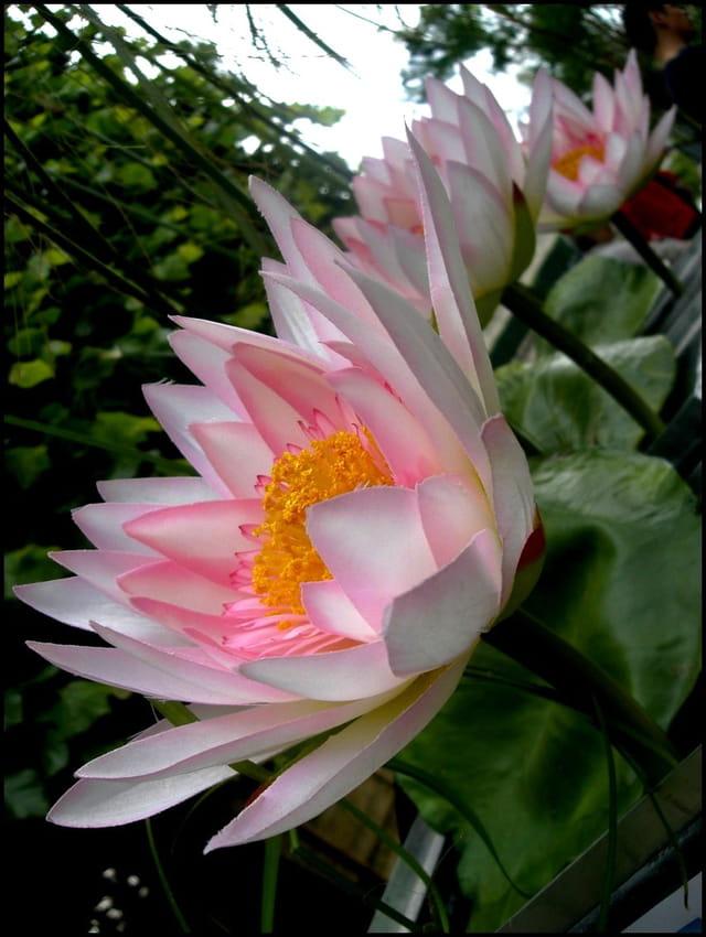 Lotus, fleur sacrée du bouddhisme
