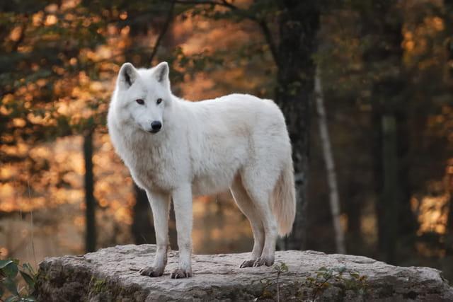 Loup blanc au petit matin