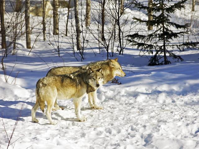 Loup blanc de l'Arctique