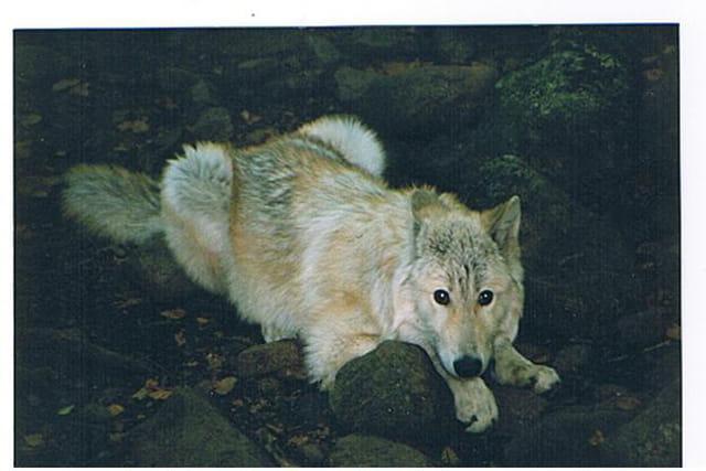 Loup du kentucky
