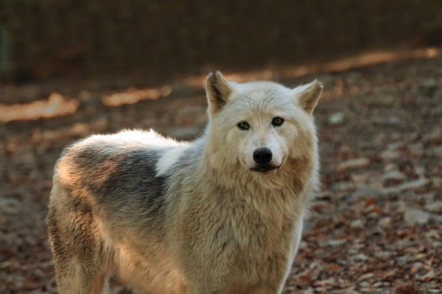 Loup gris du canada