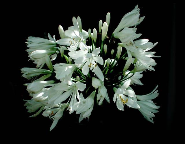 Lys asiatique