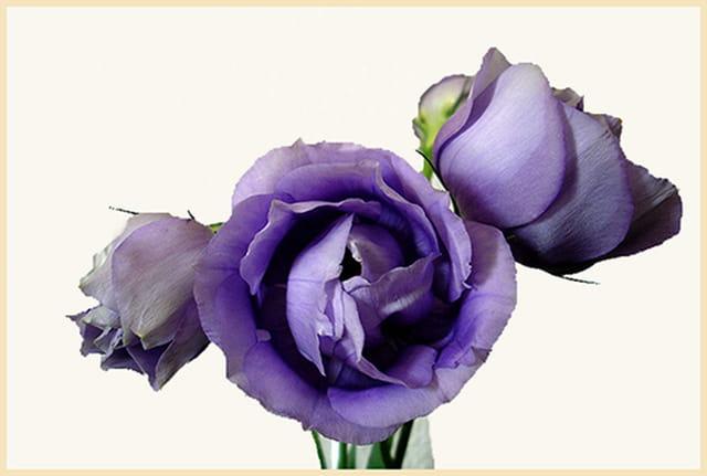 Lysianthus bleus