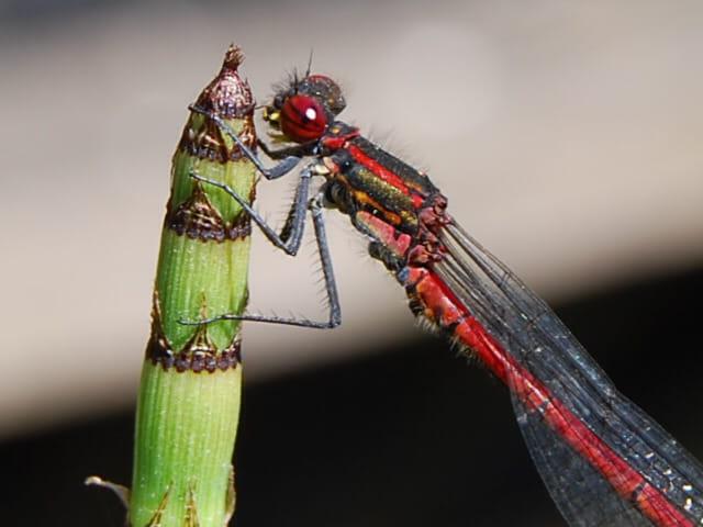 Ma libéllule  rouge