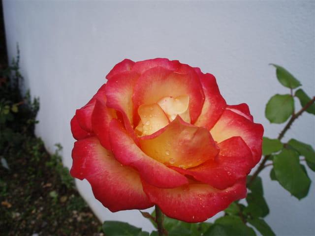 Ma Reine Rose