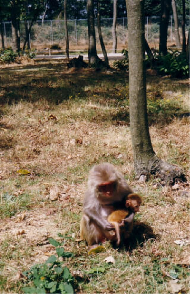 Macaque et son bébé