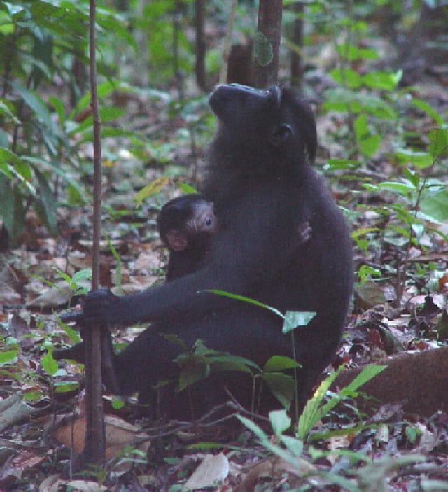 Macaque noir femelle et son bébé