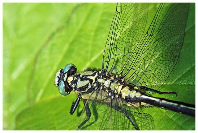 Macro de libellule