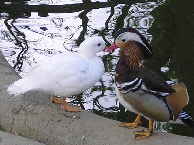 Madame et monsieur mandarin