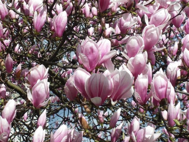 Magnolia de Soulanges