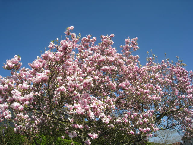 Magnolia for ever...