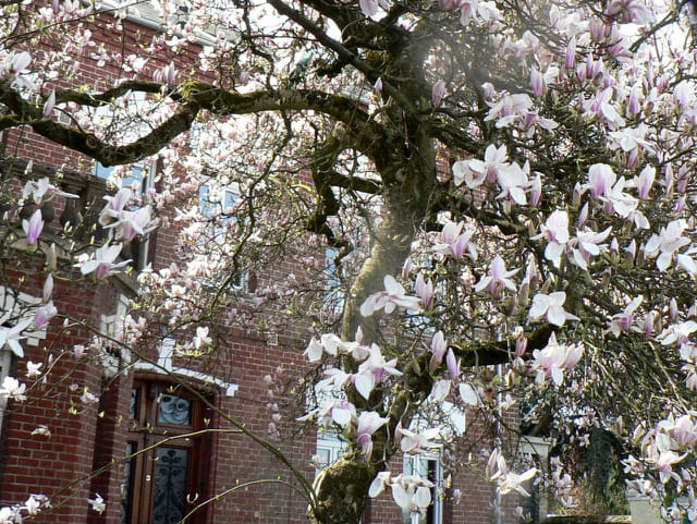 Magnolia for ever -too much !!