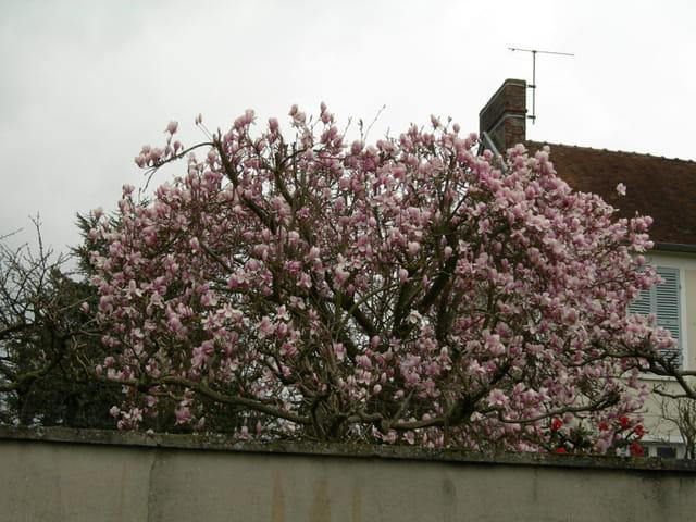 Magnolias  for ever....