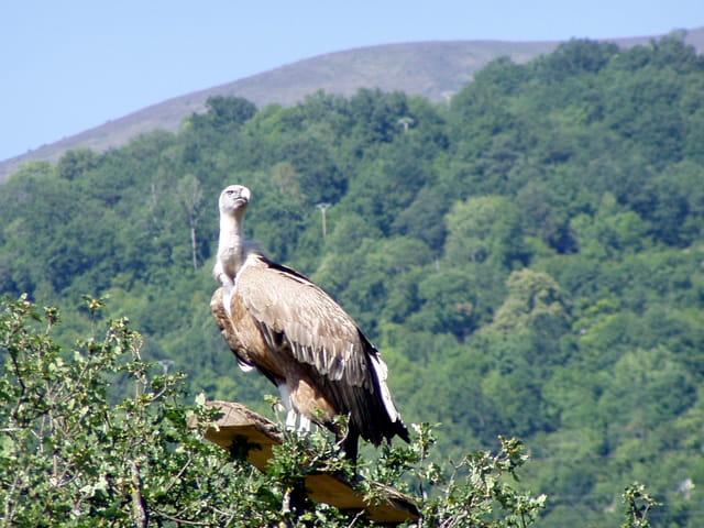 Majestueux vautour